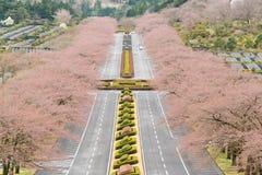 Sakura Blossom. Parallel along the road Stock Photography