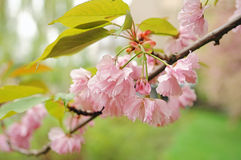 Sakura blossom Stock Image