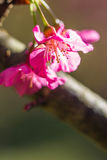 Sakura blossom pink flower close up Royalty Free Stock Image