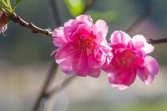 Sakura blossom pink flower close up Stock Image
