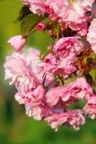 Sakura blossom Royalty Free Stock Photo