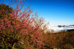 Sakura blossom at Pu Chi fa, Chiang Rai. Sakura flower blossom at Pu chi fa or Phu Chee fah, Chiang rai, Thailand Stock Images