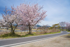 Sakura Blossom Road in Arashiyama, Kyoto, Japan Royalty Free Stock Images