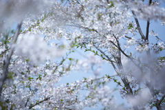 Sakura in the blossom season Royalty Free Stock Image