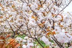 Sakura blossom. On Spring Foliage Royalty Free Stock Photo