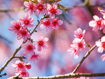 Sakura blossom in thailand Stock Images