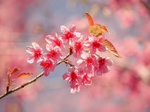Sakura blossom in thailand Stock Photography