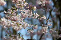 The sakura blossom under warm spring light Royalty Free Stock Photography