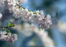 The sakura blossom under warm spring light Stock Image