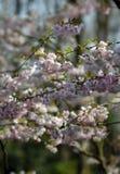The sakura blossom under warm spring light Royalty Free Stock Photo