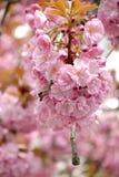 Sakura Blossom, Uzhgorod, UA Stock Photo