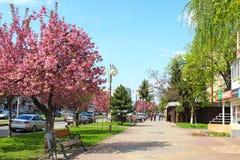 Sakura blossom in Uzhgorod, Ukraine. UZHGOROD, UKRAINE - APRIL 14, 2017: Pink sakura cherry blossom on Liberty avenue in the center of Uzhgorod Stock Image