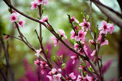Sakura Blossom Vakantie Khanami Kers royalty-vrije stock foto's