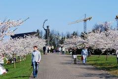 Sakura blossom at Vilnius city on April 19, 2014 Stock Images