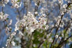 Sakura blossom. The white Sakura blossom at suburb of Seoul, Korea Royalty Free Stock Photo