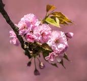 Sakura. Blossomed Japanese cherry trees Royalty Free Stock Photos