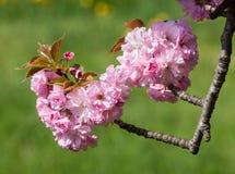 Sakura. Blossomed Japanese cherry trees Royalty Free Stock Photography