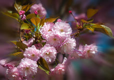 Sakura. Blossomed Japanese cherry trees Stock Image