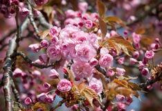 Sakura. Blossomed Japanese cherry trees Royalty Free Stock Image