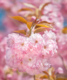 Sakura. Blossomed Japanese cherry trees Royalty Free Stock Photo