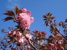 Sakura blossoming twigs. On blue spring sky Stock Photo