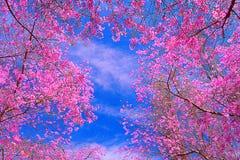 Sakura. Blossoms against blue sky royalty free stock photography