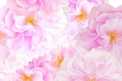 Sakura blossoms background royalty free stock photo