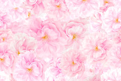 Sakura blossoms background stock images