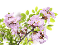 Sakura blossoms flowers Royalty Free Stock Photos