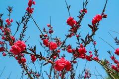 Sakura blossoms. Japanese Sakura. Bloom. Red flowers against the blue sky. Japan, China. Spring Stock Photos