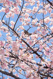 Sakura blossoms. A little bird 's breaking on Sakura blossoms tree. the miracle natural is so beautiful Stock Photography