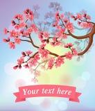 Sakura blossoms and ribbon. Spring background with sakura blossoms and ribbon Royalty Free Stock Images