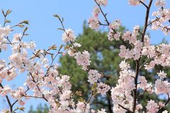 Pattern of beautiful flowers of sakura on a background of green tree and blue sky in spring royalty free stock photos