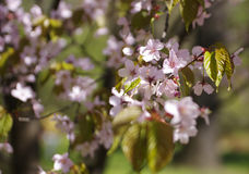 Sakura blossoms. On a tree branch Royalty Free Stock Images