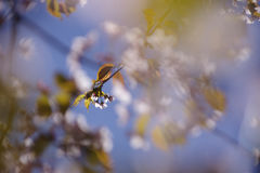 Sakura blossoms. On a tree branch Stock Images