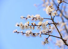 Sakura blosson Zdjęcie Royalty Free