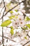 Sakura Blossum Royalty-vrije Stock Afbeeldingen