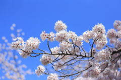 Sakura with blue sky Royalty Free Stock Images