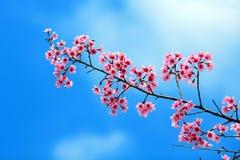 Sakura in blue sky Royalty Free Stock Images