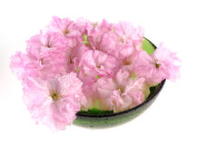 Sakura in bowl - spa decoration. Isolated Royalty Free Stock Images