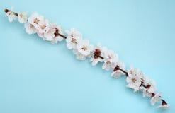 Sakura branch Royalty Free Stock Photo