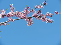 Sakura branch against the blue sky. On a sunny spring day Royalty Free Stock Images
