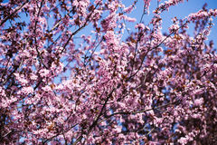 Sakura branch. Against the sky Stock Photography