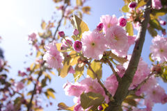 Sakura branch blooming, japanese cherry. Sakura branch blooming,  japanese cherry, pink flowers, daylight Stock Photography