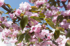 Sakura branch blooming, japanese cherry. Pink flowers, daylight Stock Images