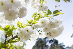 Sakura branch blooming, japanese cherry. White flowers, daylight Stock Photos