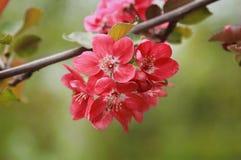 Sakura branch blooming Royalty Free Stock Photo