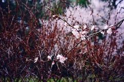 Sakura Branch Blossoming Out in de Lente Royalty-vrije Stock Foto's