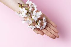 Sakura branch in female hand on pink background, copy space royalty free stock image
