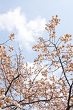 Sakura branch Royalty Free Stock Image